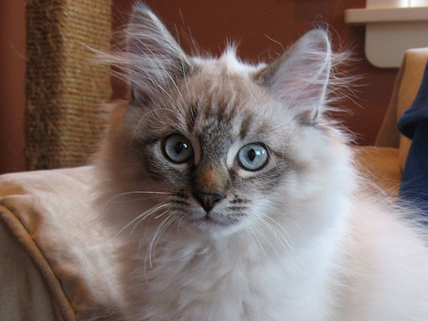 Siberian kitten Oscar at 15 weeks old, 11 Aug 2017