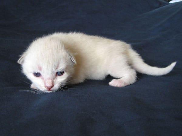 Siberian kitten P1 at 11 days old, 2 Aug 2017