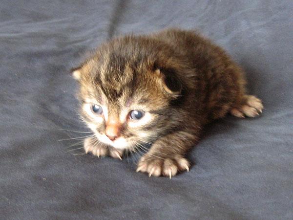 Siberian kitten P4 at 11 days old, 2 Aug 2017