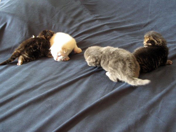 P Litter kittens at 11 days old, 2 Aug 2017