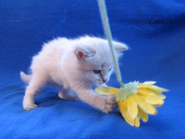 Siberian kitten Pavlov at 4 weeks old, 21 Aug 2017