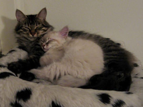 10-week-old Siberian kitten Pavlov with his mother Hoku, 3 Oct 2017