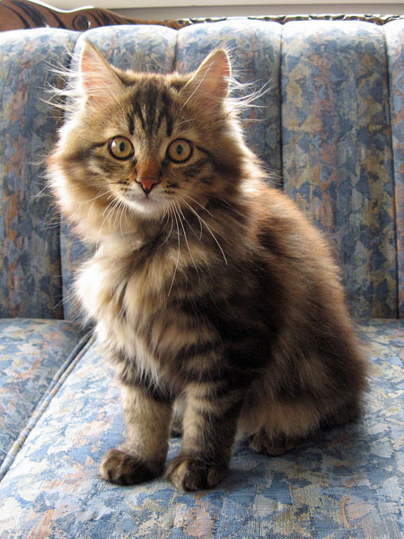 Siberian kitten Pico at 17 weeks old, 19 Nov 2017