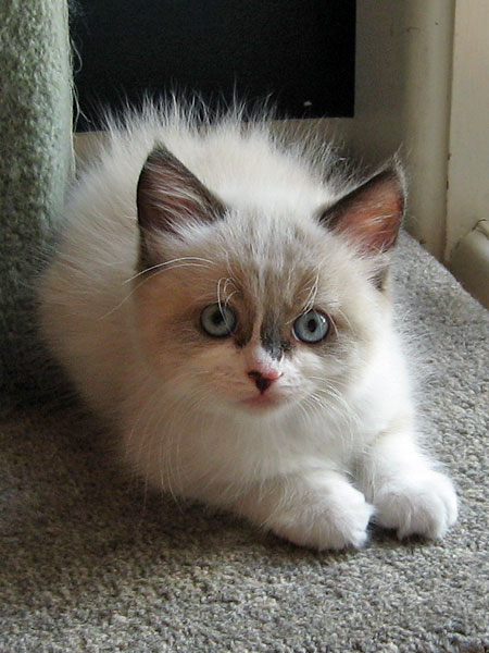 Siberian kitten Quella at 7 weeks old