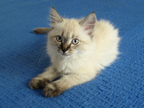 Siberian kitten Quiana at 10 weeks old