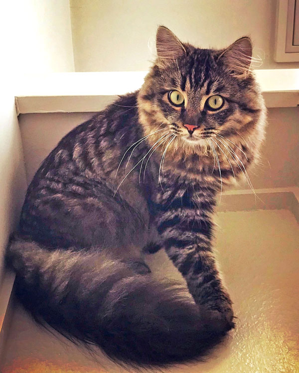 Siberian kitten Otis at almost nine months old