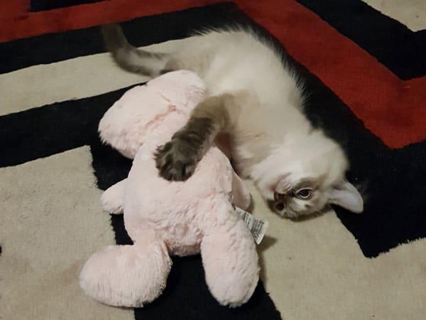 Siberian kitten Quincy at 15 weeks old, 5 Feb 2018