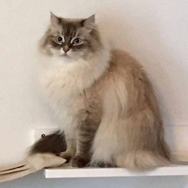 Siberian cat Remy at 2 years old