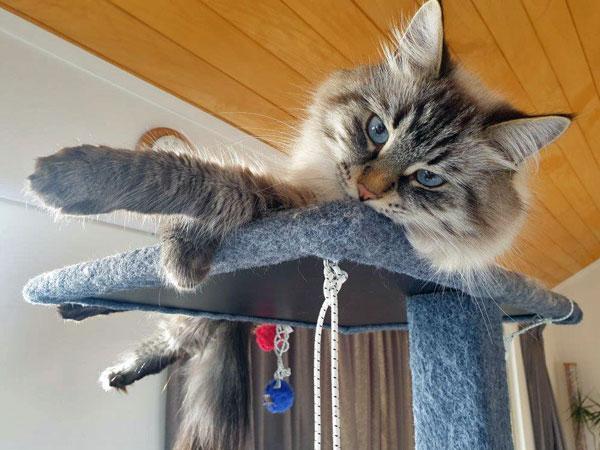 Siberian cat Nuri