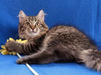 Siberian kitten Malinka