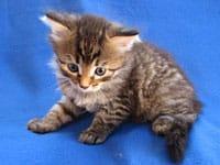 Siberian kitten Nala