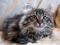 Siberian kitten Otis
