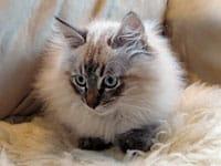 Siberian kitten Ollie