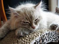 Siberian kitten Ilya
