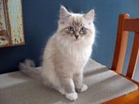 Siberian kitten Kiska