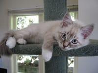 Siberian kitten Kiko
