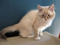 Siberian kitten Katrina