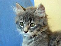 Siberian kitten Elu