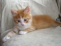 Siberian kitten Barney