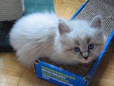 elmo a lowallergen siberian kitten for people with cat