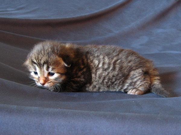 Siberian kitten Nala at 2 weeks old, 30 Apr 2017