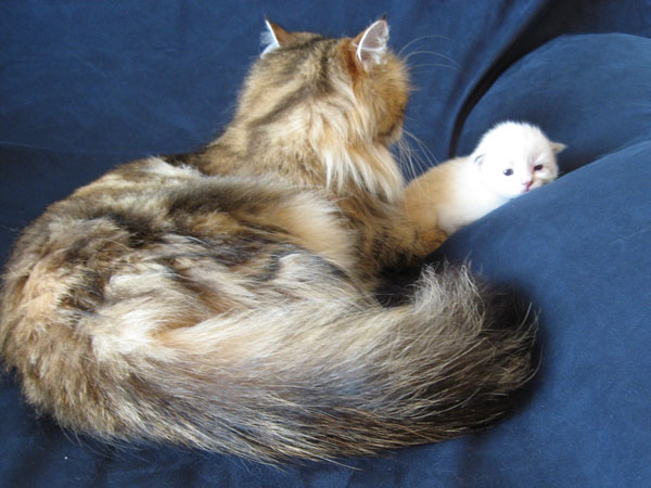 Cici and Siberian kitten Nadia at 2 weeks old, 30 Apr 2017