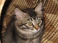 Siberian kitten Hoku