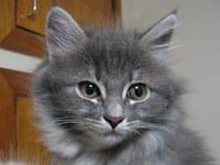 Siberian kitten Palinki