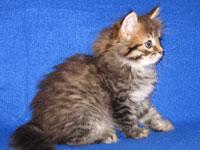 Siberian kitten JoJo