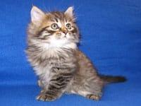 Siberian kitten Jespa