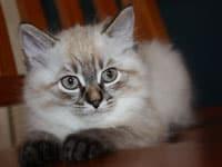 Siberian kitten Freya