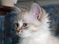 Siberian kitten Foster